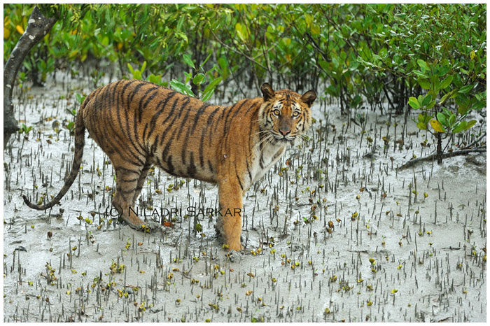 sundarban-royal-bengal-tiger